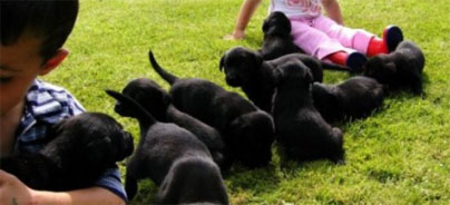 gundog puppies forsale